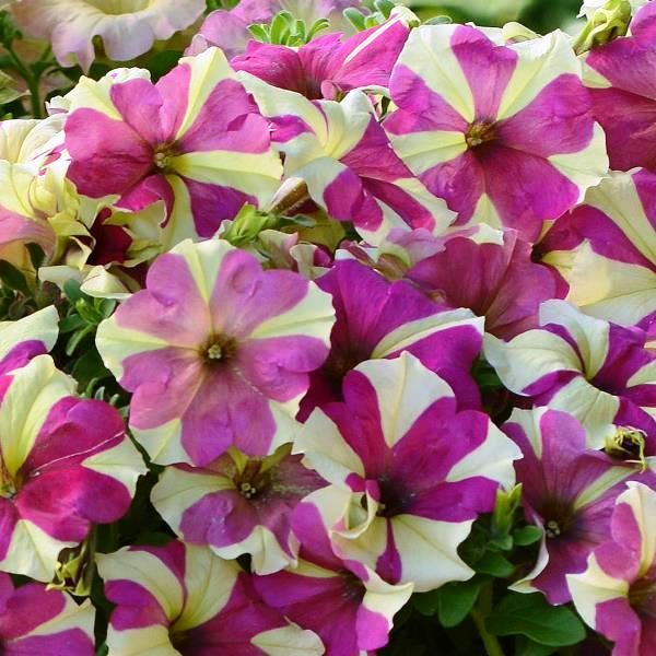 Petunia Lime Bicolor Flowers Seeds