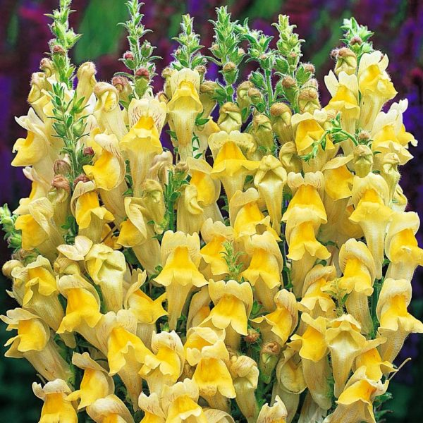 Antirrhinum Yellow Flowers Seeds