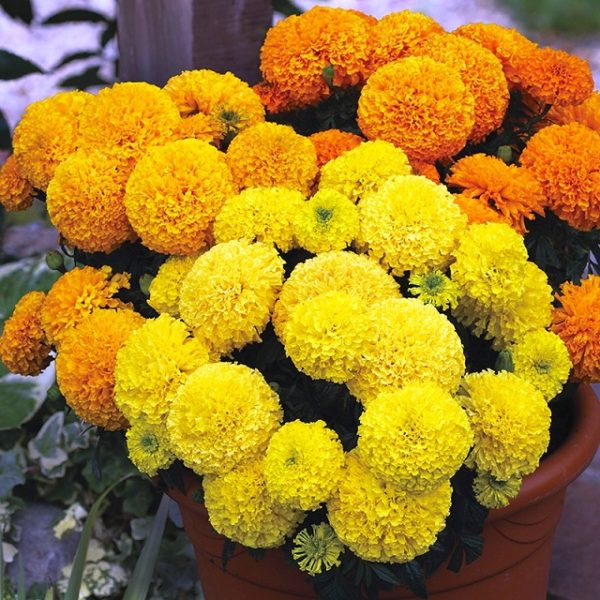 Marigold Mix Flowers Seeds