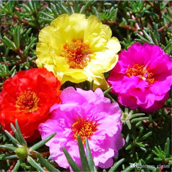 Portulaca Grandiflora Mix Flowers Seeds