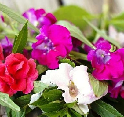 Balsamina Mix Flowers Seeds