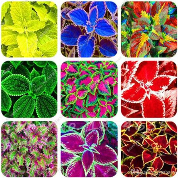 Coleus Blumal Mix Flowers Seeds