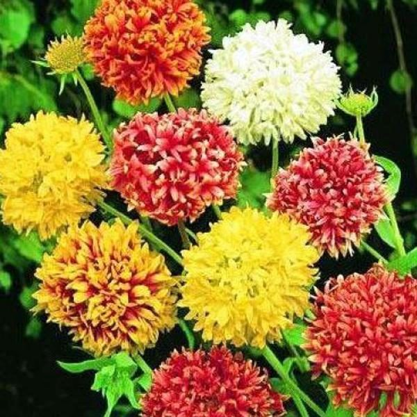 Gaillardia Mix Flowers Seeds