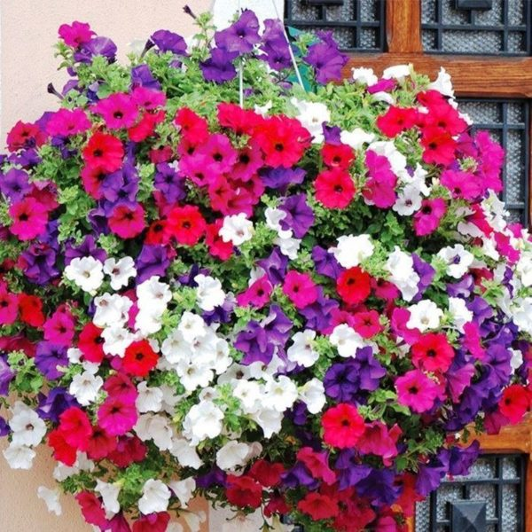 Petunia Mix Flowers Seeds