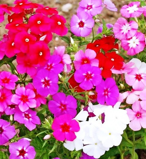 Phlox Mix Flowers Seeds