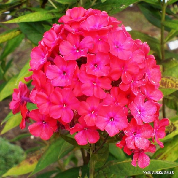 Phlox Red D Flowers Seeds