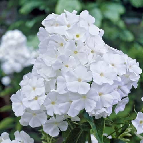 Phlox White D Flowers Seeds
