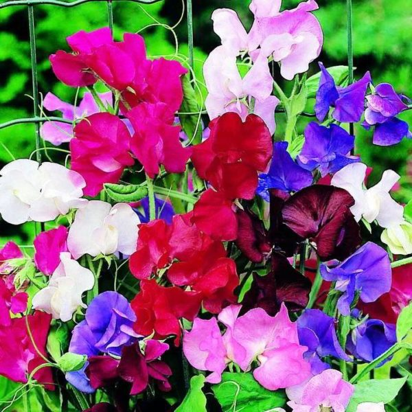 Sweet Peas Mix Flowers Seeds