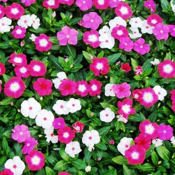 Vinca Rosea Tall Mix Flowers Seeds