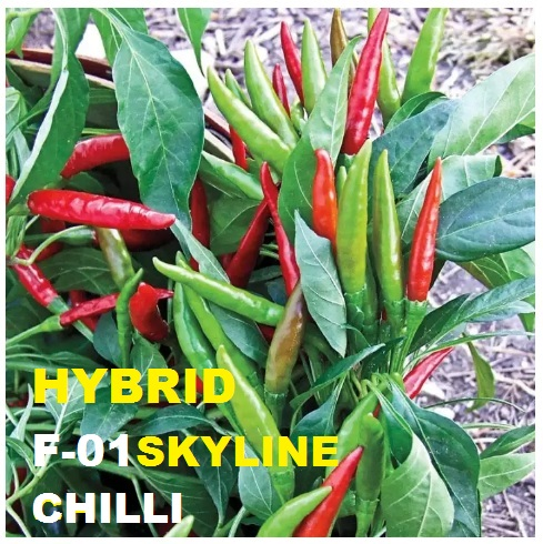 Hybrid F-01 Skyline Chilli Seeds