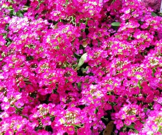 Alyssum Pink Flower Seeds